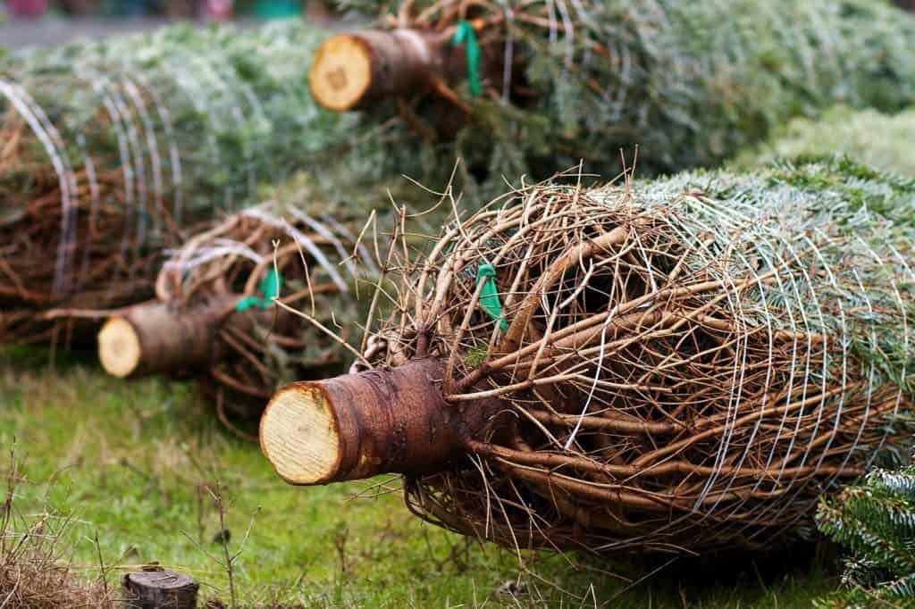 mehrere-gefällte-christbäume-liegen-auf-dem-boden