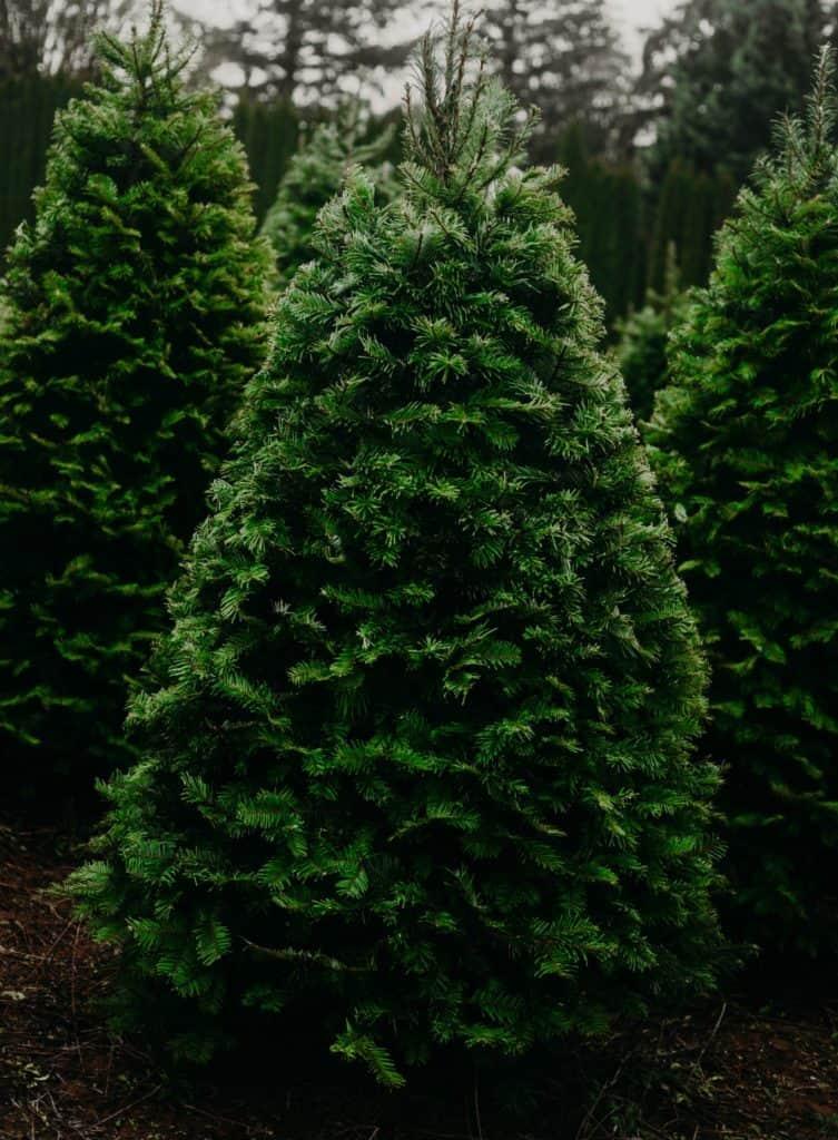 drei-christbäume-nebeneinander