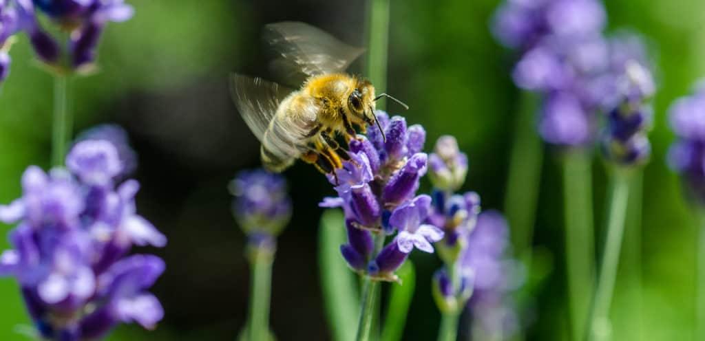 Bienen Lavendel